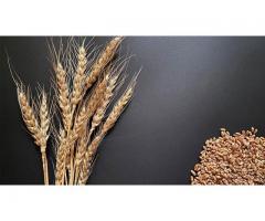 Семена озимой пшеницы Гомер, Граф, Гурт, Еланчик