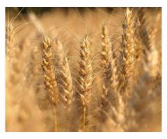 Семена озимой пшеницы Алексеич, Ахмат, Безостая-100, Гром