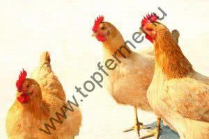 Породы яичных кур