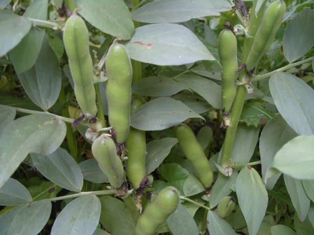Самые урожайные сорта бобов