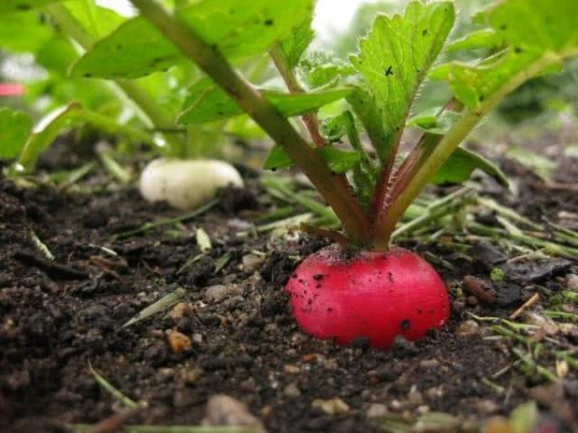 Самые урожайные сорта редиса