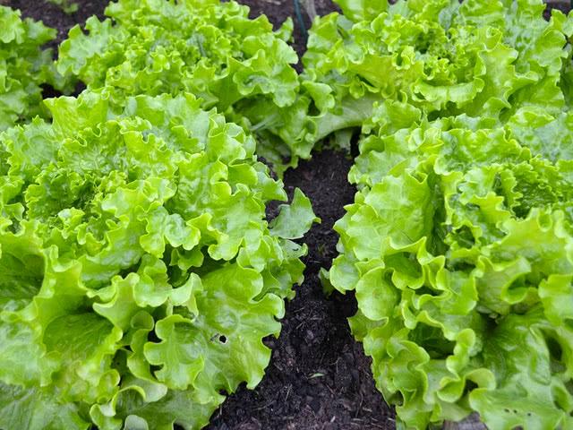 Самые урожайные сорта салата