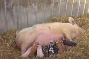 Опорос свиньи, уход после опороса