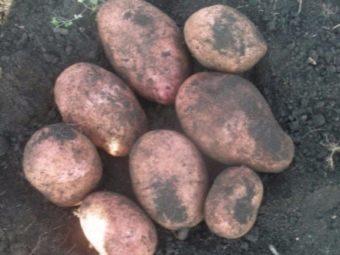 Сорт картофеля Каменский