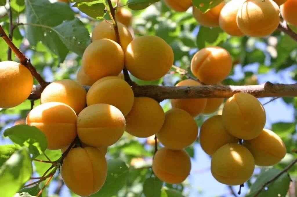 Как вырастить абрикосы.Полезные советы.