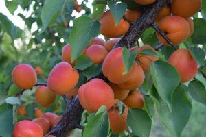 Посадка и выращивание абрикосов в средней полосе