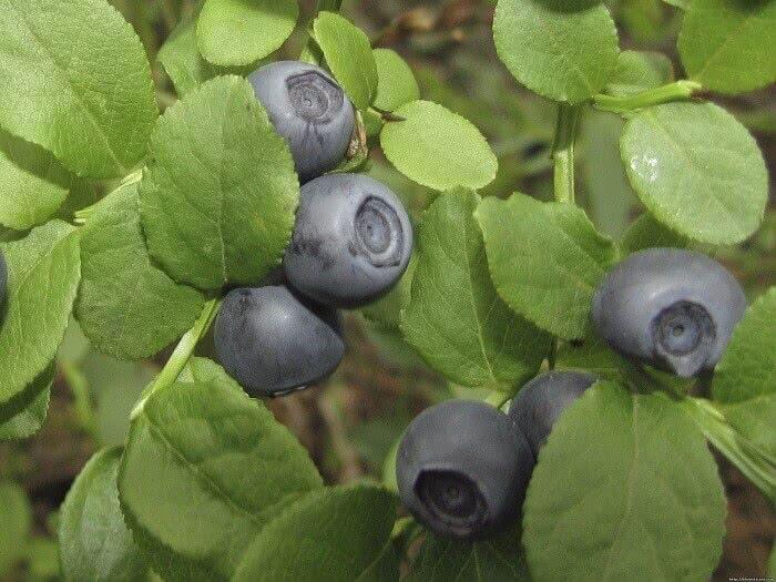 Черника садовая или черничное дерево?
