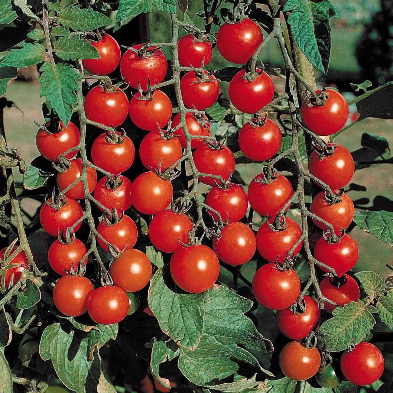 Мелкие помидоры. Отзыв о мелких помидорах.