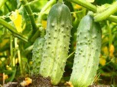Особенности выращивания огурцов