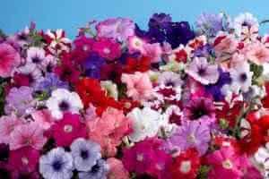 Условия выращивания петуний
