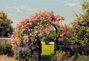 Особенности выращивания роз