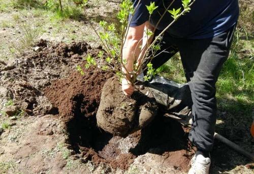 Посадка и удобрение калины