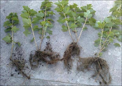 Как вырастить куст смородины