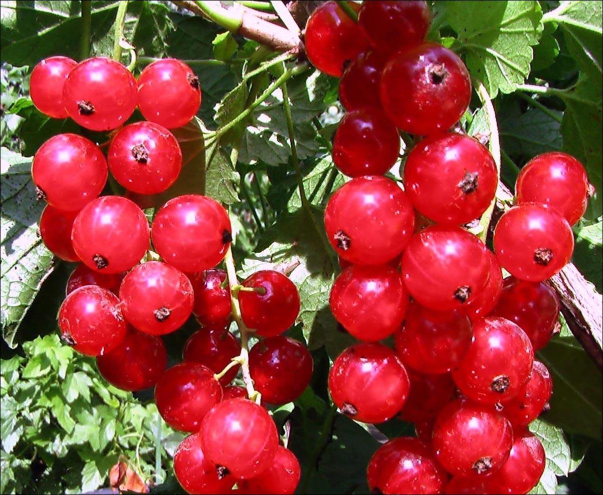 Правила выращивания и ухода за смородиной