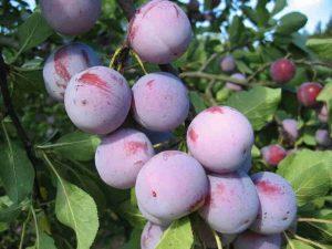Урожайные сорта слив
