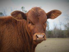 Мясные породы быков и коров.