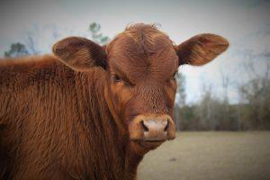 Мясные породы быков и коров