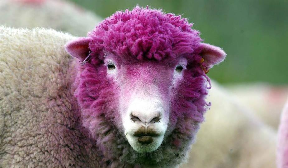 Чем болеют овцы