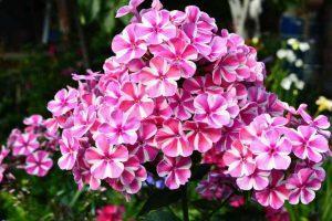 Управляем цветением флоксов, интенсивный цвет