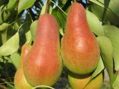 Урожайные сорта груш