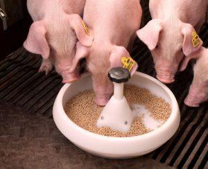 Как покупать комбикорм для свиней