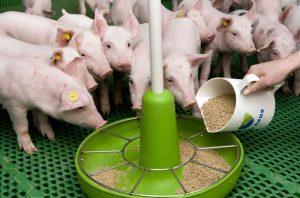 Различные типы откорма свиней