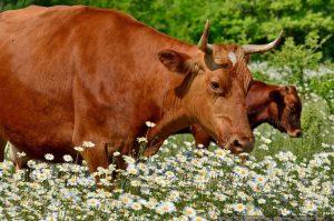 Как правильно выбрать корову