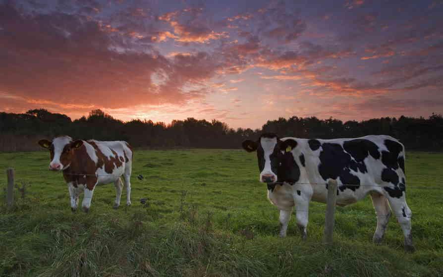 Чем можно кормить корову
