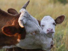 Как узнать отел у коровы