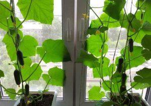 Как посадить огурцы на балконе