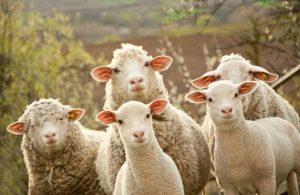 Что можно получить от овец