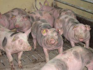 Мясная порода свиней «Пьетрен»