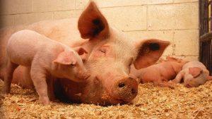 Плодовитость свиней