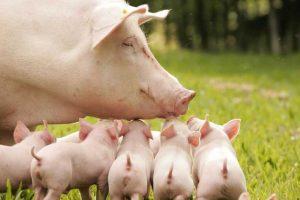 Техника искусственного осеменения свиней