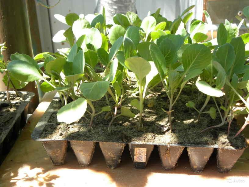 Посадка семян капусты на рассаду