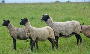 Разведение овец романовской породы