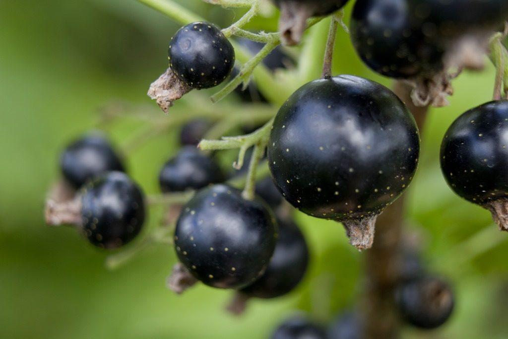 Полезные свойства черной смородины.
