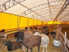Условия и особенности содержания овец