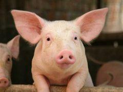Какая температура тела у свиньи