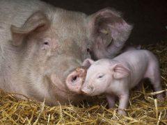 Продолжительность жизни домашней свиньи