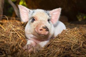 Траспортировка и уход за свиньями