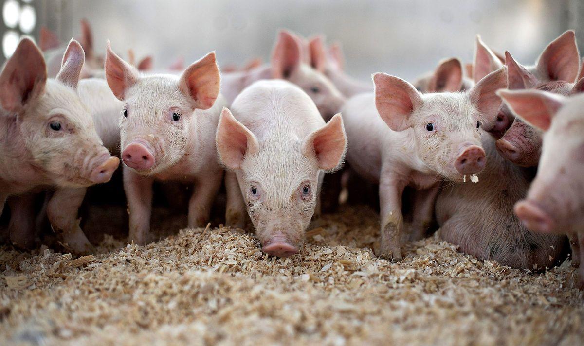 Болезни свиней и их лечение