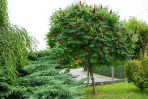 Декоративные деревья — ваше стилевое решение