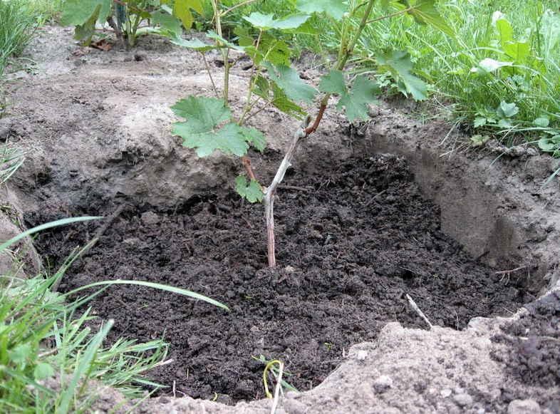 Как посадить виноград с помощью черенков