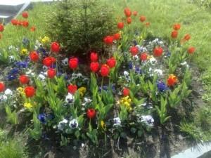Миксбордер из тюльпанов