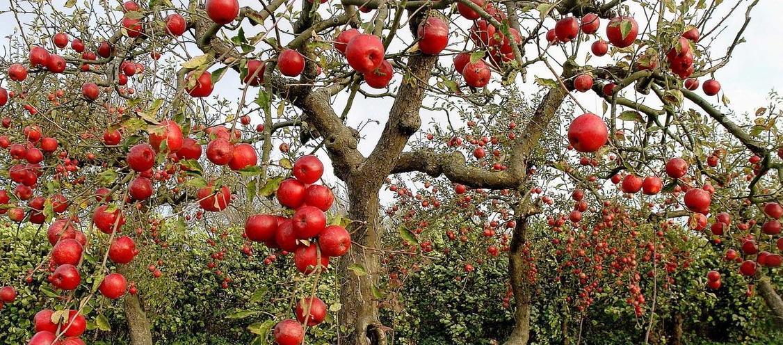 Посадка фруктовых деревьев