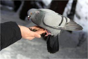 Как кормить голубей и ухаживать за ними.