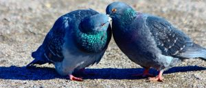 Как вылечить вертячку у домашних голубей