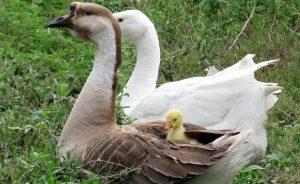 Как различить пол у гусей