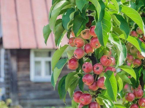 Колоновидные яблони. Посадка и уход.